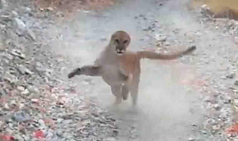 Korku dolu anlar! Yürüyüş yaparken peşine puma takıldı