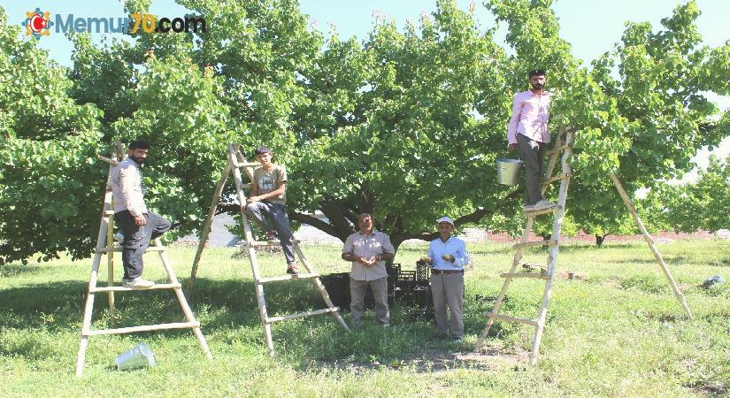 Iğdır'ın sembolü kayısıda hasat dönemi başladı