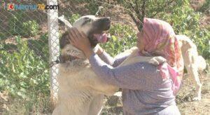 Anadolu ırkı çoban köpekleri heybetleriyle dikkat çekiyor
